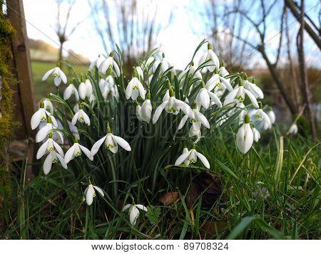 Wild Snowdrop Flowers