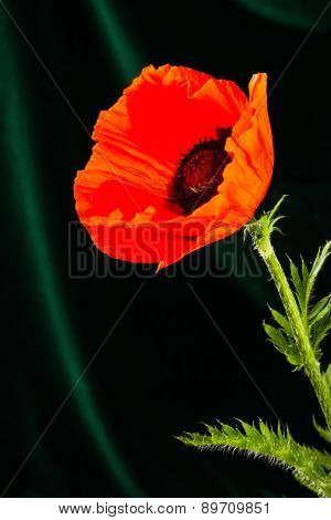 Beautiful Wild-growing Red Poppy