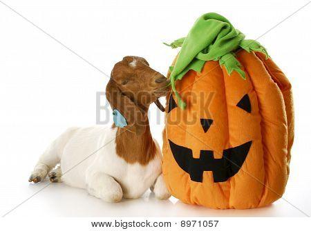 Goat And Halloween Pumpkin