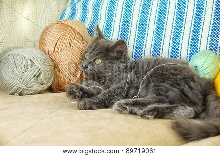 Cute gray kitten plays with threads for knitting on sofa at home