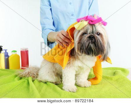 Hairdresser towel Shih Tzu dog in barbershop, isolated on white