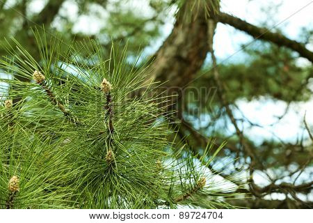 Branches of green spruce, closeup