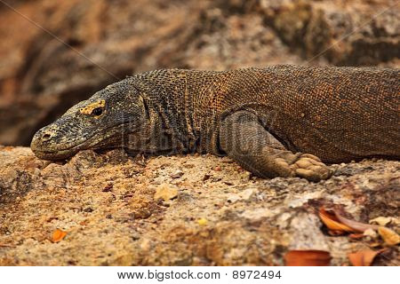Closeup Of Komodo Dragon Face And Side