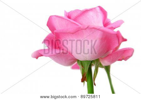 Beautiful pink roses, closeup