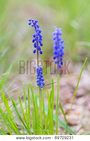 Blooming Grape Hyacinth Flowers