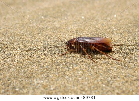 Cockroach On Beach