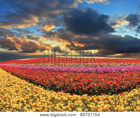 Farmers field with flowers grown for export sales. Spring cloud illuminated by the sunset. Buttercups blooming garden