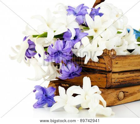 Beautiful hydrangea in wooden basket isolated on white