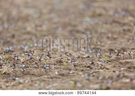Sprouts Of Buckwheat