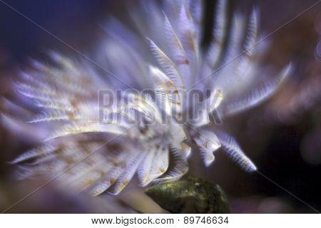 Sabellidae Close Up