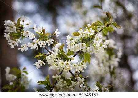 Beautiful Flowers Of Cherry Tree
