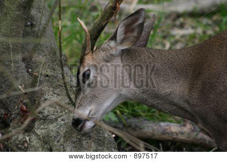 Deer_Scratching_3635