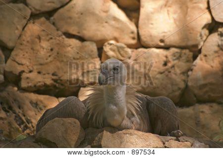 Griffon Volture (Gips Fulvus)