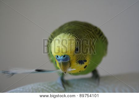 Parakeet with blue feather in mouth