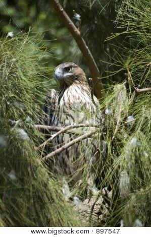 Bonellis Eagle ( Hieraaetus Fasciatus )