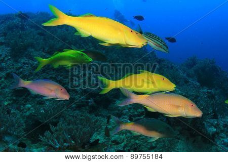 Yellow fish (Goatfish) and scuba diver in background
