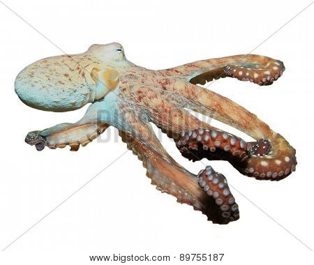 Live underwater Octopus isolated on white background