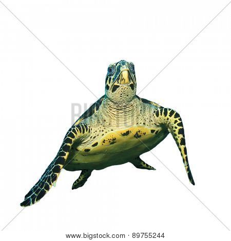 Hawksbill Turtle isolated