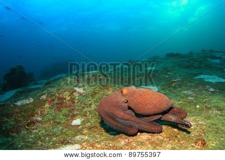 Reef Octopus underwater