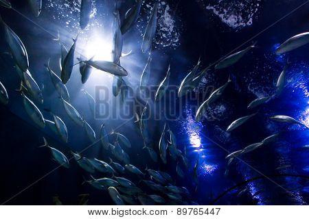 shoal fish