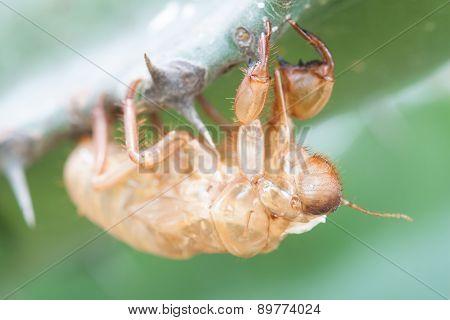 Cicada Molt.