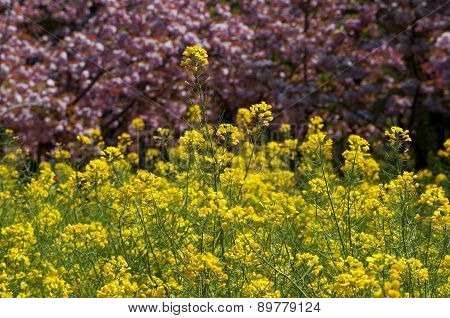 Yellow Rapeseed Flowers And Flowering Peach Trees