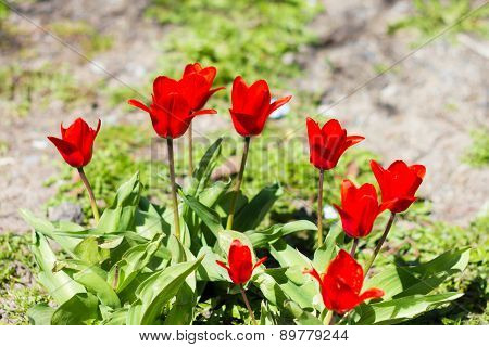 Colorful Tulips, Tulips In Spring