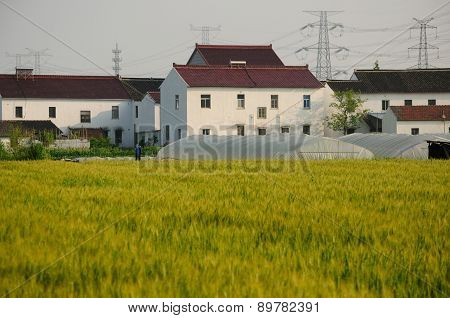 Wheat fields of shanghai