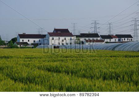 Wheat farms in Shanghai
