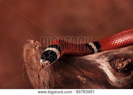 Head of milk snake