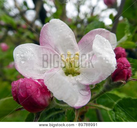 Macro View White Flowers Of Apple Tree