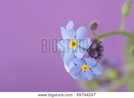 Dainty blue Forget-me-not flower on purple background