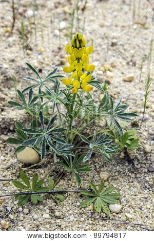 Lupinus Luteus, Comunly  Known As Annual Yellow-lupin. A Native Plant To The Mediterranean Region