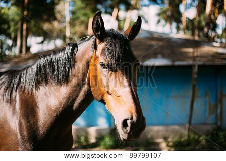 Close Up Of Brown Horse In Farm Paddock
