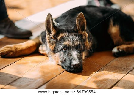 Close Up Young German Shepherd Dog Puppy