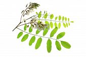 stock photo of locust  - Branch flower leaves of the Black Locust in Europe also called False Acacia  - JPG
