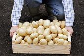 pic of potato-field  - Farmer with box full of potatoes in field - JPG