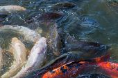 stock photo of koi fish  - Many Japanese Koi fish gathering to eat - JPG