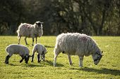 pic of spring lambs  - Beauitful landscape image of Spring lambs and sheep in fields during late evening light