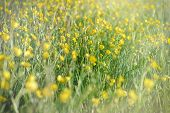 pic of buttercup  - Meadow  - JPG