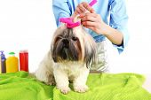 image of barbershop  - Cute Shih Tzu and hairdresser in barbershop isolated on white - JPG