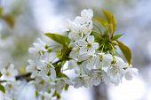 image of tree-flower  - Beautiful white flowers of cherry tree - JPG