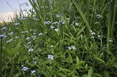pic of forget me not  - Water Forget me not  - JPG