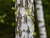 stock photo of birching  - Beautiful young leaves of birch tree on branch - JPG