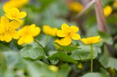 stock photo of marigold  - Beautiful blooming wild yellow marigolds flowers - JPG