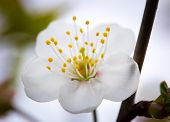 stock photo of tree-flower  - Beautiful white flowers of cherry tree. Close up of fruit tree branch with flowers.
