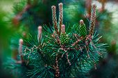 stock photo of cone  - Budding pine cone isolated on a blurred green background of nature - JPG