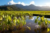image of poi  - Taro fields in standing water in late afternoon sunshine on the island of Kauai - JPG