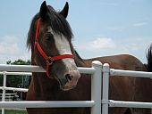 picture of clydesdale  - Clydesdale horse head shot with bridle and fence - JPG