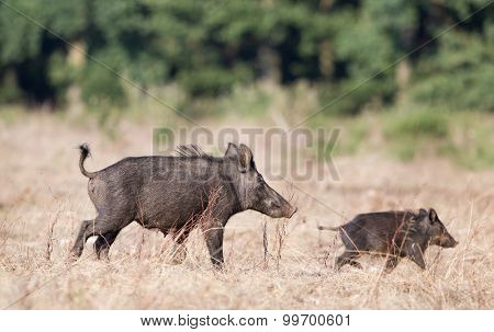 Wild Boar With Piglet